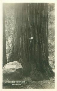 Gifford Pinchot Tree Mt Tamalpais and Muir Woods, California Photo Postcard