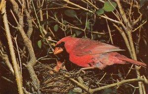 Cardinal – state bird of West Virginia Birds Unused