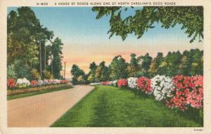 Postcard Hedge of Rose Along Road North Carolina