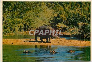 Postcard Modern South Africa Hippopotamus These animals are extremely good an...