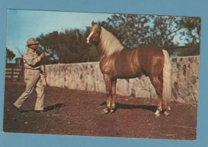 Beautiful Palomino Horse With Trainer / Groom Equine Post Card