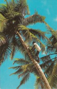 Jamaica Native Climbing Coconut Tree For Drink