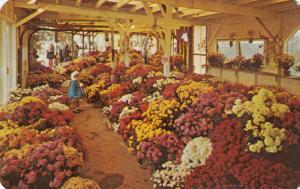 NORTH EAST, Pennsylvania, 1940-60s; Mums Garden by Farm of Paschke