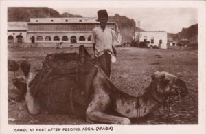 Yemen Aden Camel At Rest After Feeding Real Photo