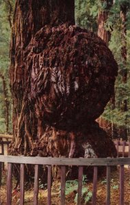 CA - Santa Cruz County. Big Trees Park, Giant Burl