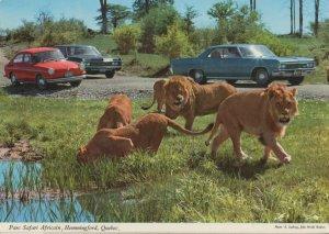 Parc Safari Hemmingford Quebec Canada Lions Postcard