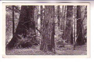 B&W Redwoods, Marin County,  California, JC Bardell