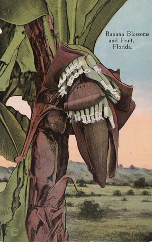 Florida Banana Blossoms and Fruit