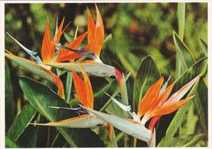 Guam Bird Of Paradise Beautiful Island Flowers