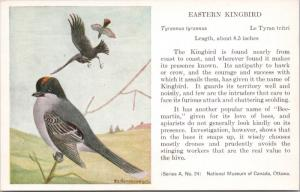 Eastern Kingbird National Museum of Canada FC Hennessey Art Vintage Postcard D49