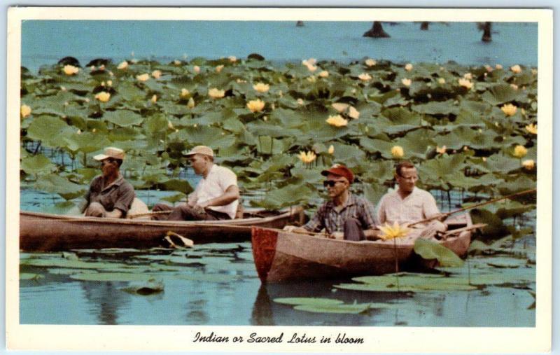 SAMBURG, Tennessee TN Indian or Sacred Lotus REELFOOT LAKE