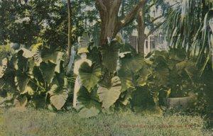 JACKSONVILLE, Florida, 1900-1910s; Woman standing among Elephant Ears plants