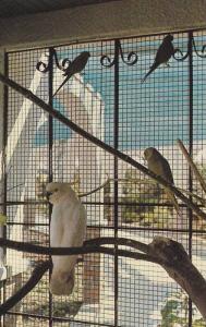 The Park & Tilford Gardens, Sulphur Crested Cockatoos, Indian Ring Necks,  No...