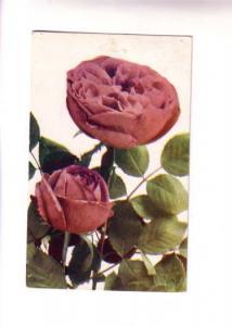 MacFarlane Floral Series, Pink Roses, Upper Port Latour Nova Scotia Split Rin...