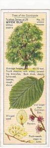 Typhoo Tea Vintage Trade Card Trees Of The Countryside 1936 No 10 Wych Elm