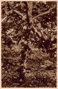 Ghana Gold Coast Cocoa tree Postcard