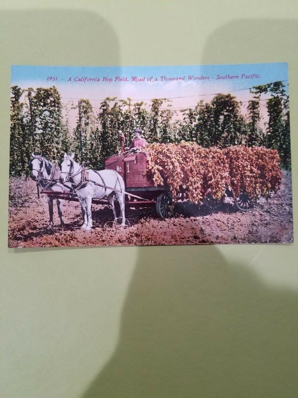 Antique Postcard, A California Hop Field, Road of a Thousand Wonders  #1951