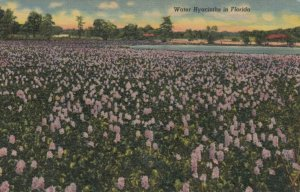 Water Hyacinths in FLORIDA, 30-40s