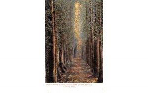 Avenue of Pines Concord, Massachusetts Postcard