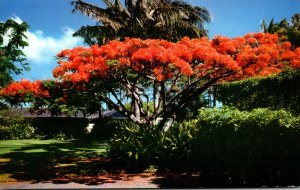 Hawaii Royal Poinciana The Flame Tree In Full Bloom