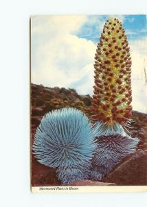 Postcard Silverwood Plants Bloom Found Crater Haleakala Maui Hawaii # 3758A
