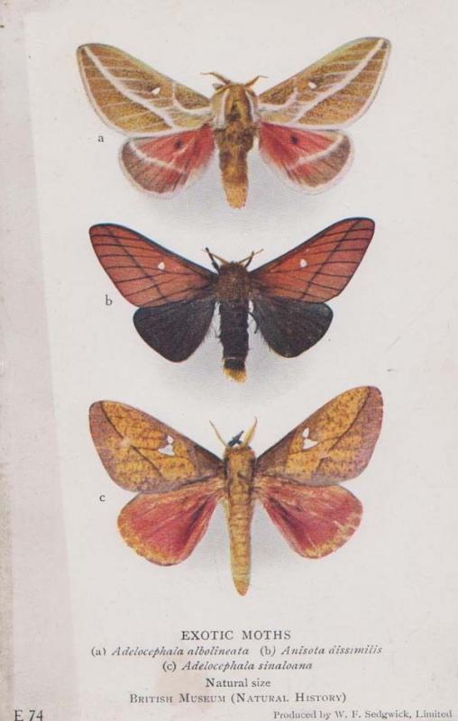 Adelocephala Albolineata Sinaloana Old Antique Moth Rare London Museum Postcard