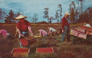 Harvesting Cranberries On Cape Cod 1961