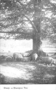 Sheeps animals - a Champion Pen