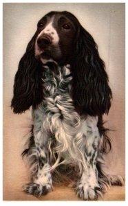 Dog Cocker Spaniel