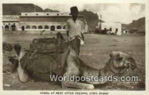 Camel at Rest After Feeding Aden Republic of Yemen Unused