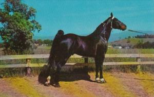 Champion Tennessee Walking Horse