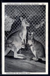 Kanagoo,Wallaby,Fleishacker Zoo,San Francisco,CA