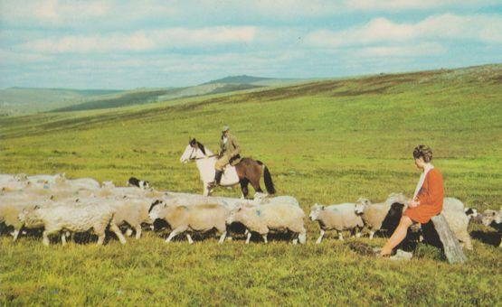 Rounding Up The Sheep In Princetown Dartmoor 1970s Farming Postcard