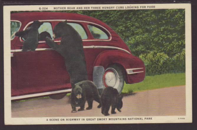 Mother Bear and Three Cubs,Great Smokey Mountains Postcard