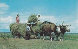 Haymaking With Oxen In Western Nova Scotia, Canada, 40-60s