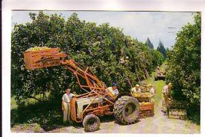 Citrus Harvest, Tractor, Workers, Florida, HW Hannau