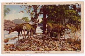 Deer, Adirondack Mts
