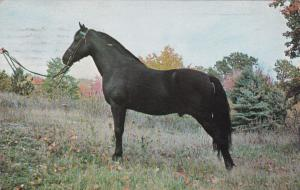 BRATTLEBORO, Vermont, 1970; Black Morgan Stallion