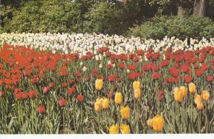 Tulips at Canada's Capital City, Ottawa, Ontario, Canada, 50-60s