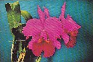 Florida Flowers Hybrid Brassolaeliocattleya Orchid in Bloom