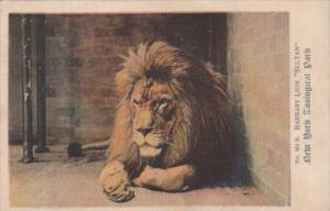 Barbary Lion Sultan New York Zoological Park 1909