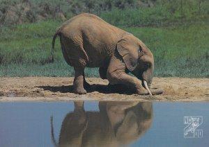 Elephant , 1950-70s ; Asheville , North Carolina , Zoo
