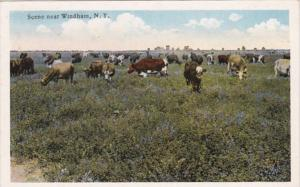 New York Grazing Cattle Near Windham Curteich