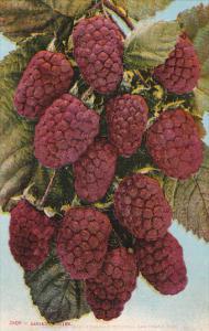 Edward H Mitchell Loganberries