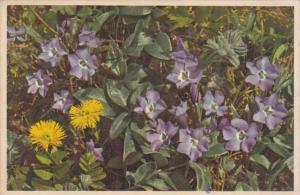 Flowers Switzerland Vinca Minor & Tussilago Farfara