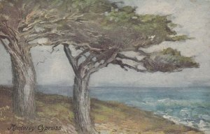 MONTEREY , California, 1900-1910's; Cypress Tree