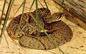 Eastern Diamond-Back Rattlesnake