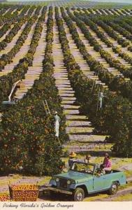 Florida Typical Orange Picking Scene In Mid Winter