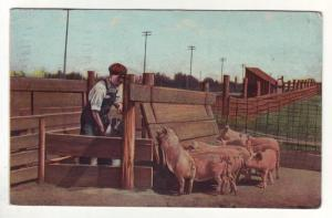 PC30 JLs postcard 1913 pm man feeding pigs from indiana
