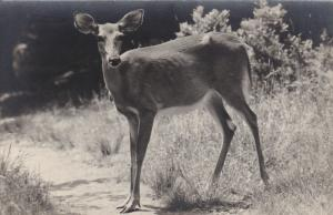 RP, White-Tailed Deer, Photo by Allan D. Cruickshank, 20-40s; Audubon Nature Cam